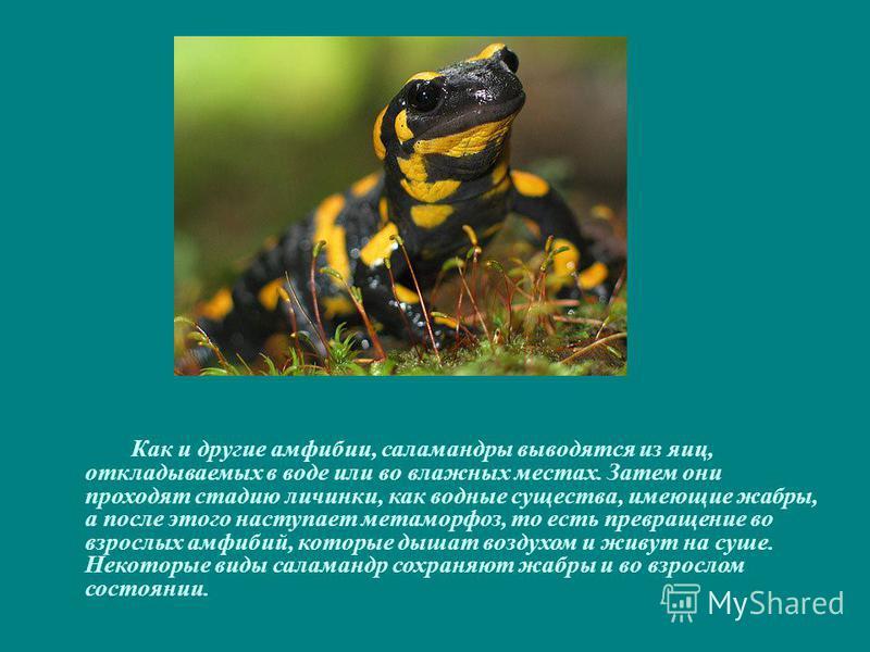 Как и другие амфибии, саламандры выводятся из яиц, откладываемых в воде или во влажных местах. Затем они проходят стадию личинки, как водные существа, имеющие жабры, а после этого наступает метаморфоз, то есть превращение во взрослых амфибий, которые