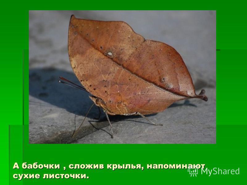 А бабочки, сложив крылья, напоминают сухие листочки.