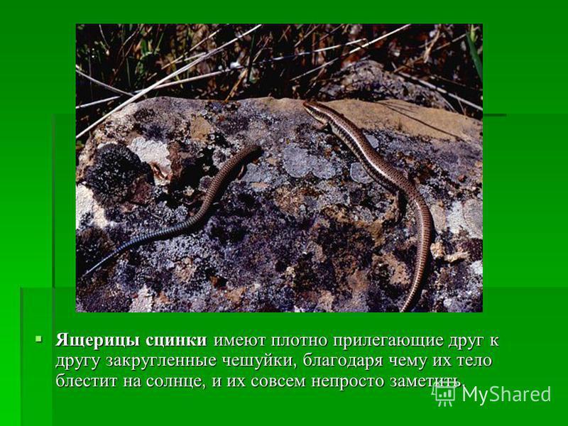 Ящерицы сцинки имеют плотно прилегающие друг к другу закругленные чешуйки, благодаря чему их тело блестит на солнце, и их совсем непросто заметить. Ящерицы сцинки имеют плотно прилегающие друг к другу закругленные чешуйки, благодаря чему их тело блес
