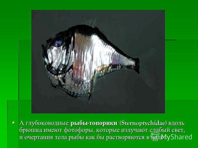 А глубоководные рыбы - топорики (Sternoptychidae) вдоль брюшка имеют фотофоры, которые излучают слабый свет, и очертания тела рыбы как бы растворяются в воде. А глубоководные рыбы - топорики (Sternoptychidae) вдоль брюшка имеют фотофоры, которые излу