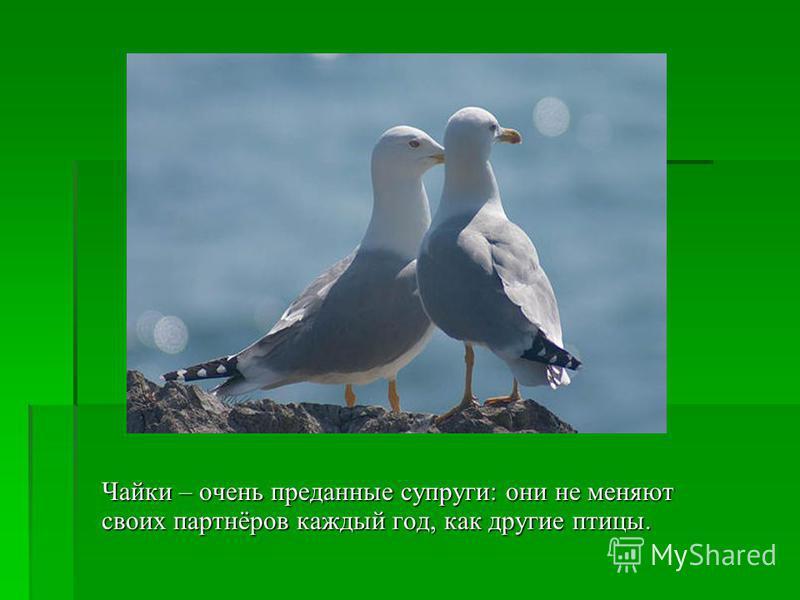 Чайки – очень преданные супруги: они не меняют своих партнёров каждый год, как другие птицы.