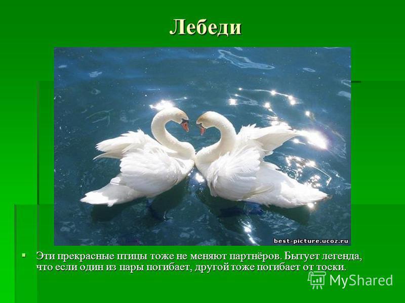 Лебеди Эти прекрасные птицы тоже не меняют партнёров. Бытует легенда, что если один из пары погибает, другой тоже погибает от тоски. Эти прекрасные птицы тоже не меняют партнёров. Бытует легенда, что если один из пары погибает, другой тоже погибает о