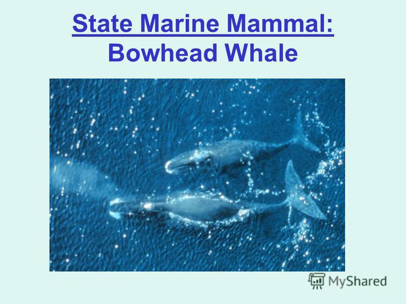 State Marine Mammal: Bowhead Whale