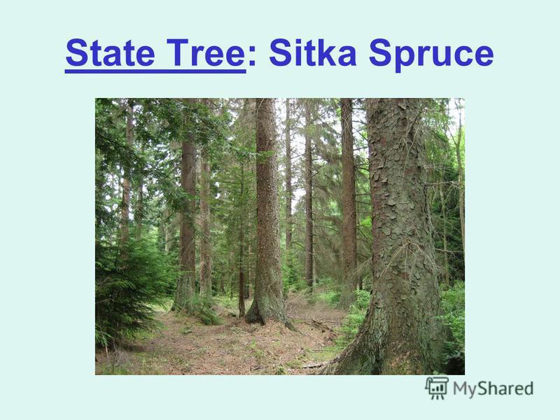 State Tree: Sitka Spruce