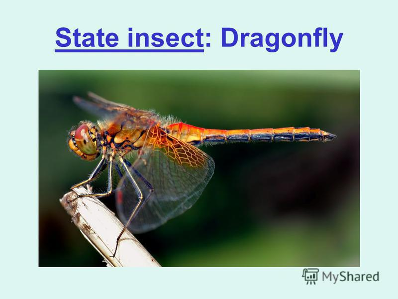 State insect: Dragonfly