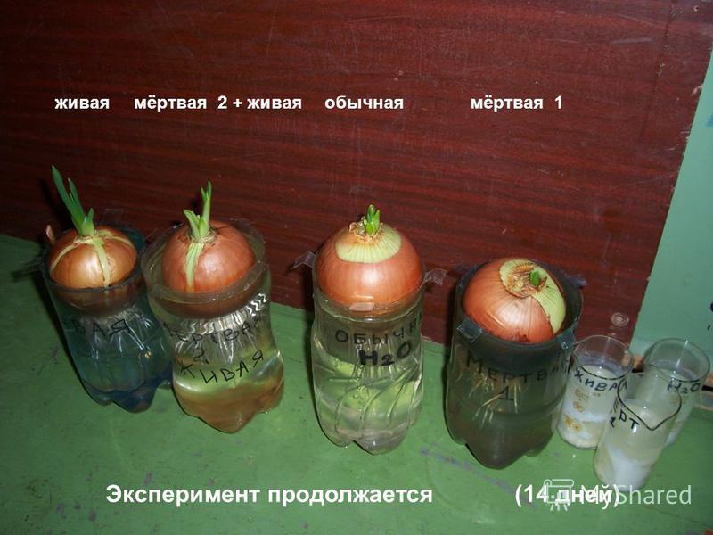Эксперимент продолжается (14 дней) живая мёртвая 2 + живаяобычнаямёртвая 1