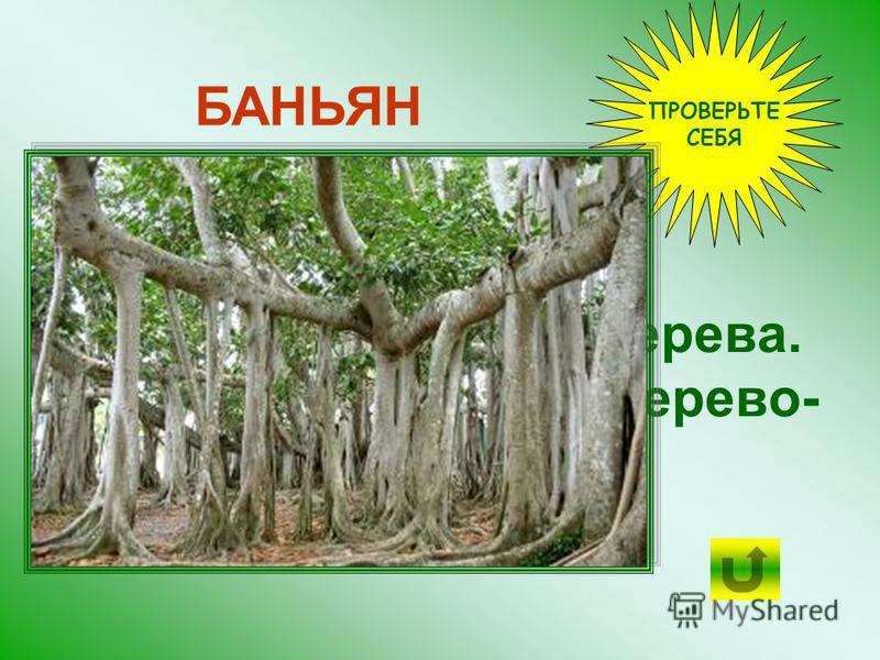 В ботаническом саду в Калькутте БАНЬЯН в возрасте 150 лет имел крону окружностью 300 м и более 300 столбообразных корней.
