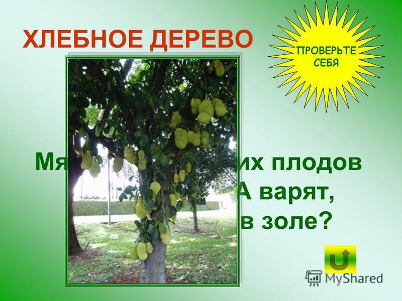 Ещё мякоть созревших плодов ХЛЕБНОГО ДЕРЕВА варят, сушат...