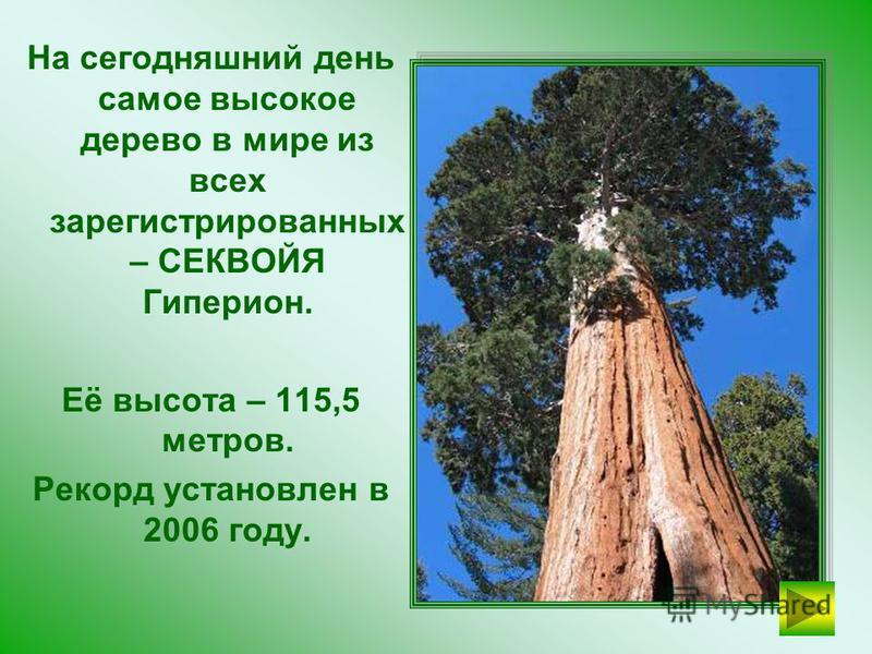 СЕКВОЙЯ Самое высокое дерево в мире.
