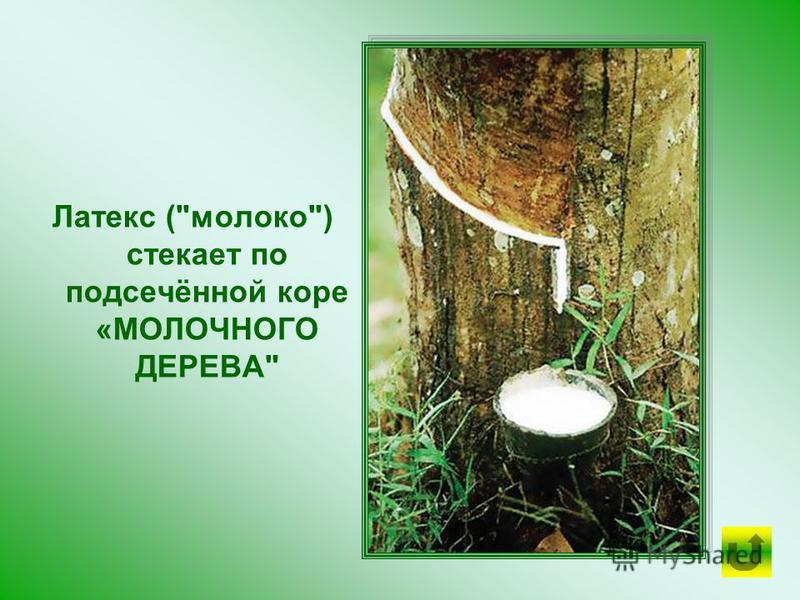 Местные жители постоянно пьют молоко этого дерева. Для добывания сока просверливают отверстие в стволе или подсекают кору. Оно истекает в таком изобилии, что за полчаса можно наполнить им бутылку.
