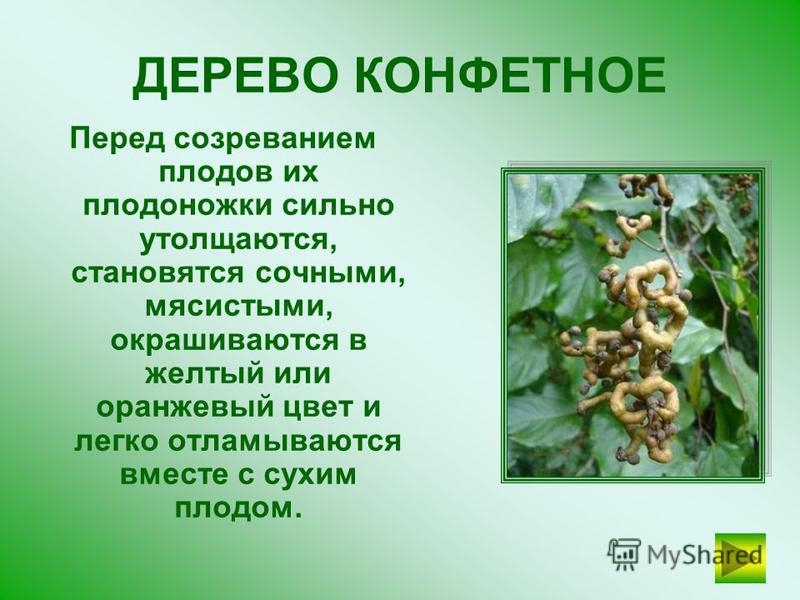Сок этого дерева ароматен и безвреден. Для добывания сока просверливают отверстие в стволе дерева или подсекают кору. МОЛОЧНОЕ ДЕРЕВО ПРОВЕРЬТЕ СЕБЯ