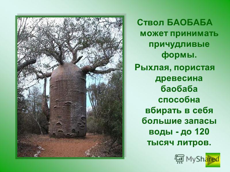 БАОБАБ Родина этого удивительного дерева – Африка. Баобаб может достигает 30 метров в высоту и 11 метров в ширину…