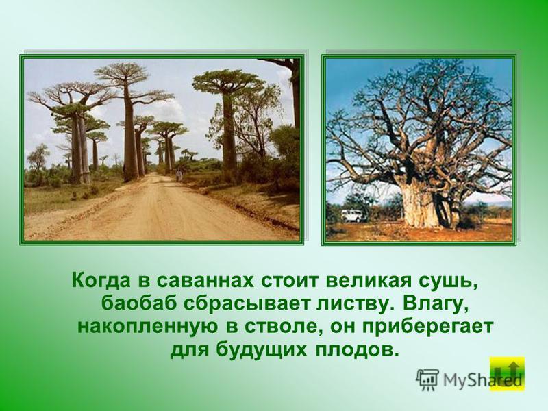 Ствол БАОБАБА может принимать причудливые формы. Рыхлая, пористая древесина баобаба способна вбирать в себя большие запасы воды - до 120 тысяч литров.