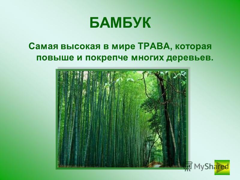 ЭВКАЛИПТ Коала питается исключительно листьями этого дерева? ПРОВЕРЬТЕ СЕБЯ