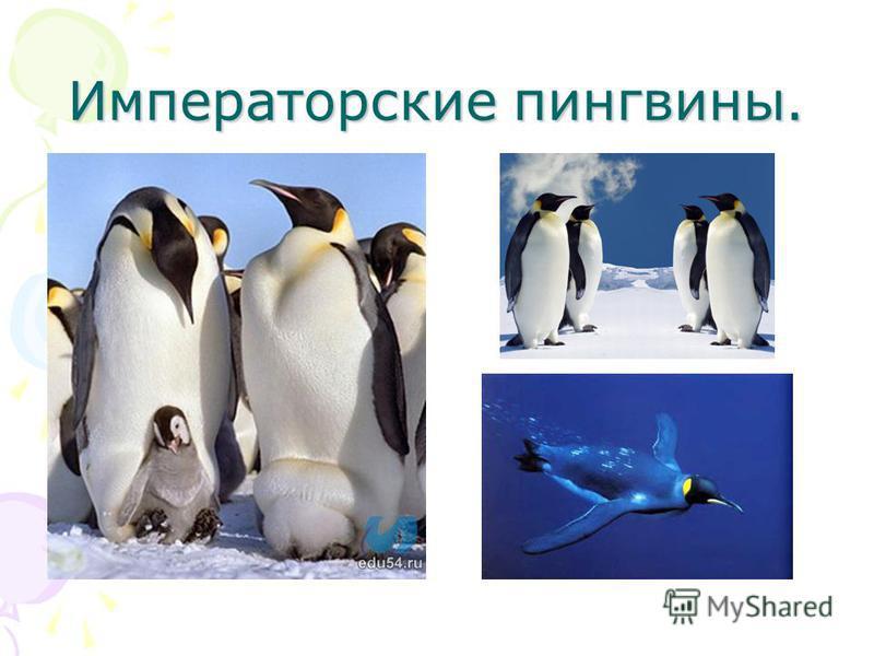 Императорские пингвины.