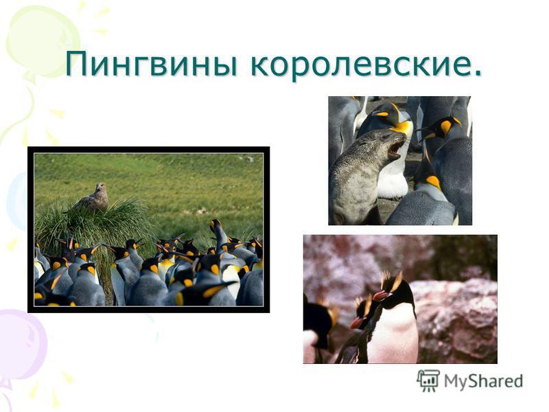 Пингвины королевские.