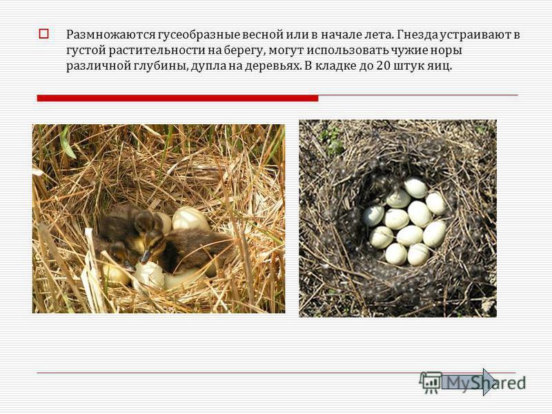 Размножаются гусеобразные весной или в начале лета. Гнезда устраивают в густой растительности на берегу, могут использовать чужие норы различной глубины, дупла на деревьях. В кладке до 20 штук яиц.