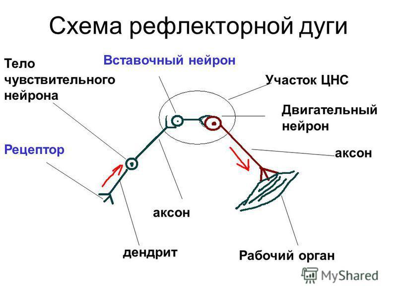 Схема рефлекторной дуги Рецептор Тело чувствительного нейрона Рабочий орган дендрит аксон Вставочный нейрон Участок ЦНС Двигательный нейрон аксон