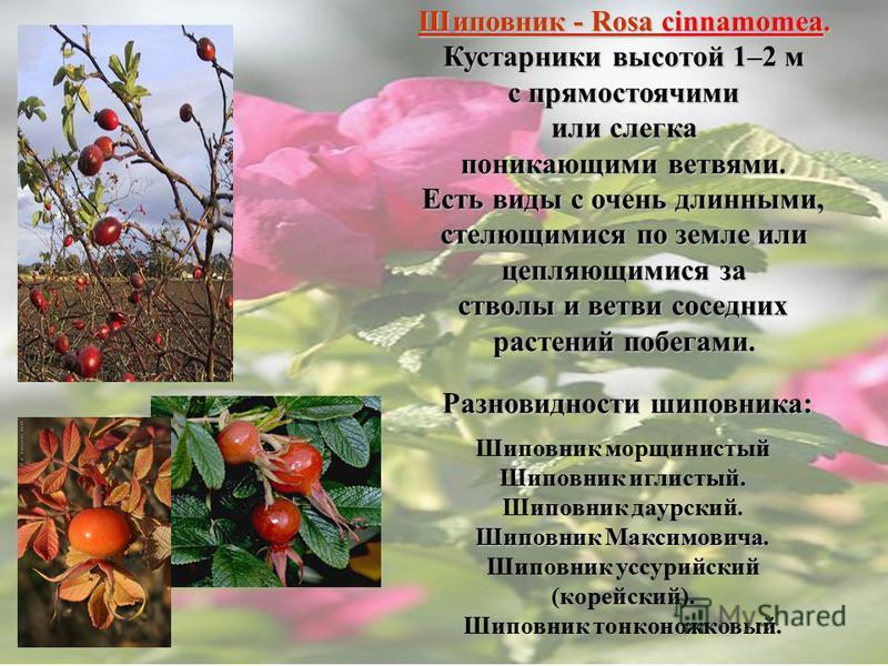 Шиповник - Rosa cinnamomea. Кустарники высотой 1–2 м с прямостоячими или слегка поникающими ветвями. Есть виды с очень длинными, стелющимися по земле или цепляющимися за стволы и ветви соседних растений побегами. Разновидности шиповника: Шиповник мор