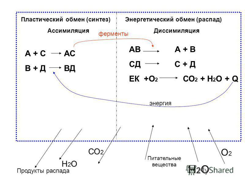 Пластический обмен (синтез) Ассимиляция Энергетический обмен (распад) Диссимиляция АВ А + В СД С + Д ЕК +О 2 СО 2 + Н 2 О + Q А + С АС В + Д ВД ферменты О2О2 СО 2 Н2ОН2О Питательные вещества энергия Н2ОН2О Продукты распада