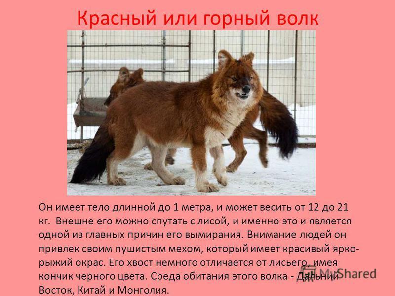 Красный или горный волк Он имеет тело длинной до 1 метра, и может весить от 12 до 21 кг. Внешне его можно спутать с лисой, и именно это и является одной из главных причин его вымирания. Внимание людей он привлек своим пушистым мехом, который имеет кр