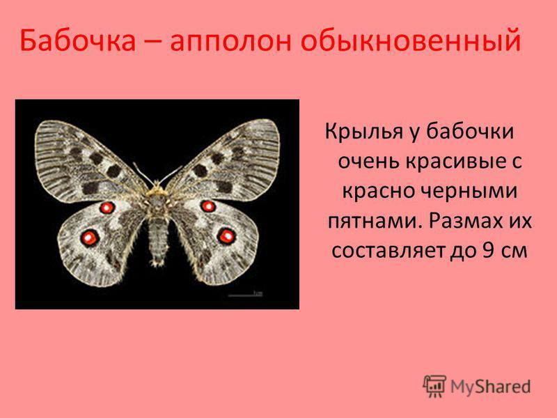 Бабочка – аполлон обыкновенный Крылья у бабочки очень красивые с красно черными пятнами. Размах их составляет до 9 см