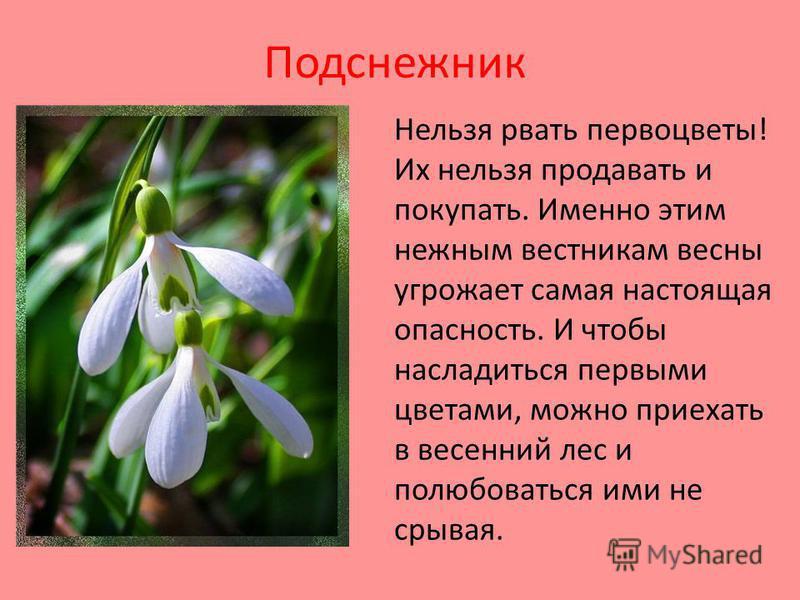 Подснежник Нельзя рвать первоцветы! Их нельзя продавать и покупать. Именно этим нежным вестникам весны угрожает самая настоящая опасность. И чтобы насладиться первыми цветами, можно приехать в весенний лес и полюбоваться ими не срывая.