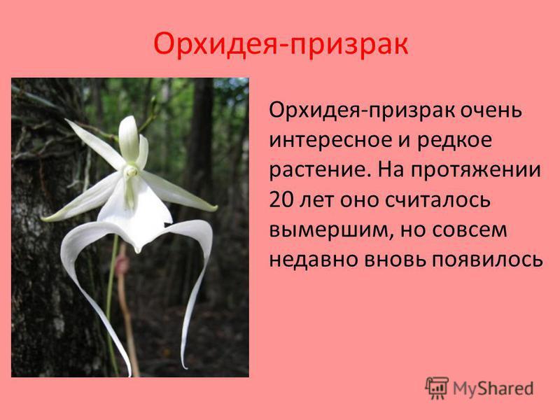Орхидея-призрак Орхидея-призрак очень интересное и редкое растение. На протяжении 20 лет оно считалось вымершим, но совсем недавно вновь появилось