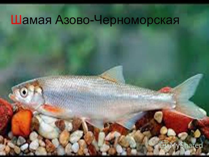 Шамая Азово-Черноморская