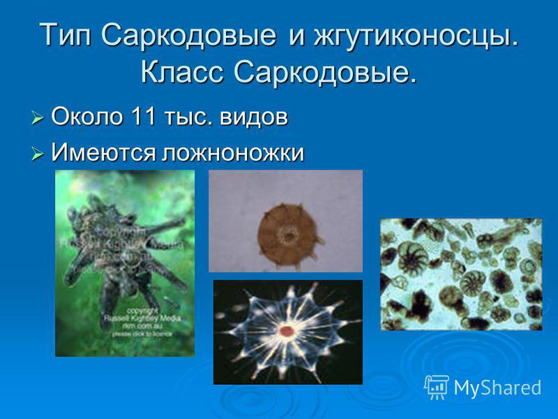 Тип Саркодовые и жгутиконосцы. Класс Саркодовые. Около 11 тыс. видов Около 11 тыс. видов Имеются ложноножки Имеются ложноножки