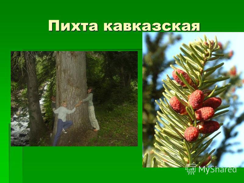 Пихта кавказская
