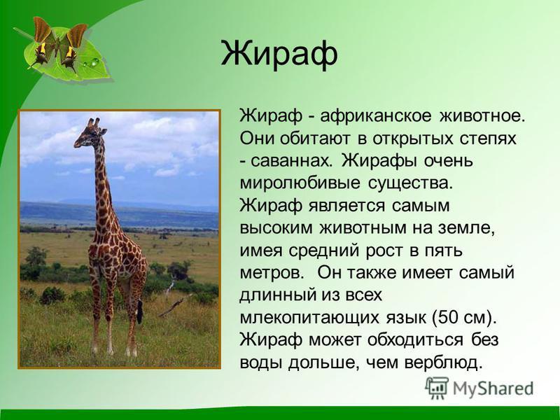 Жираф Жираф - африканское животное. Они обитают в открытых степях - саваннах. Жирафы очень миролюбивые существа. Жираф является самым высоким животным на земле, имея средний рост в пять метров. Он также имеет самый длинный из всех млекопитающих язык