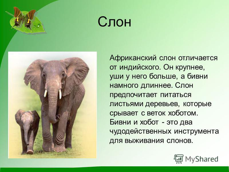 Слон Африканский слон отличается от индийского. Он крупнее, уши у него больше, а бивни намного длиннее. Слон предпочитает питаться листьями деревьев, которые срывает с веток хоботом. Бивни и хобот - это два чудодейственных инструмента для выживания с