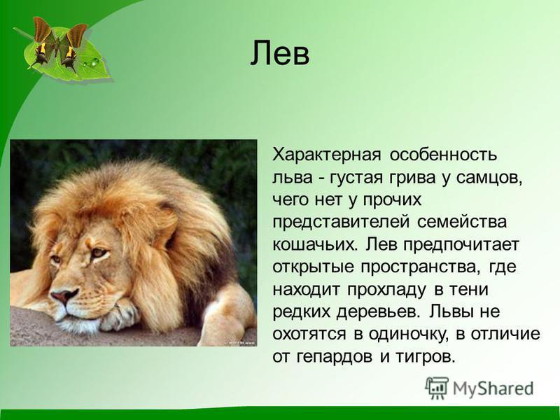 Лев Характерная особенность льва - густая грива у самцов, чего нет у прочих представителей семейства кошачьих. Лев предпочитает открытые пространства, где находит прохладу в тени редких деревьев. Львы не охотятся в одиночку, в отличие от гепардов и т