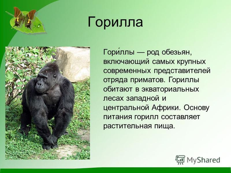 Горилла Гори́аллы род обезьян, включающий самых крупных современных представителей отряда приматов. Гориаллы обитают в экваториальных лесах западной и центральной Африки. Основу питания горилл составляет растительная пища.