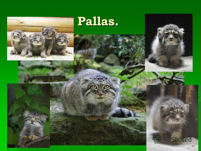 Pallas. Pallas.