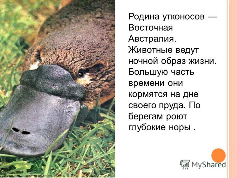 Родина утконосов Восточная Австралия. Животные ведут ночной образ жизни. Большую часть времени они кормятся на дне своего пруда. По берегам роют глубокие норы.