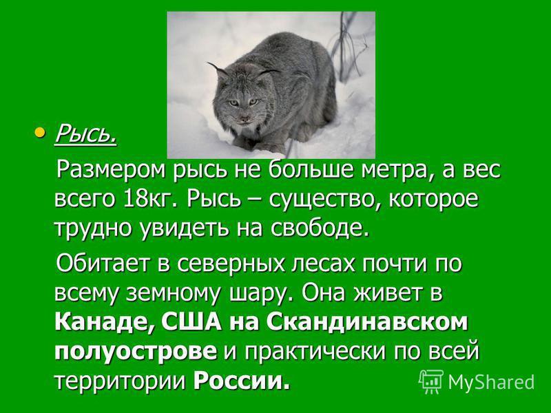 Рысь. Рысь. Размером рысь не больше метра, а вес всего 18 кг. Рысь – существо, которое трудно увидеть на свободе. Размером рысь не больше метра, а вес всего 18 кг. Рысь – существо, которое трудно увидеть на свободе. Обитает в северных лесах почти по