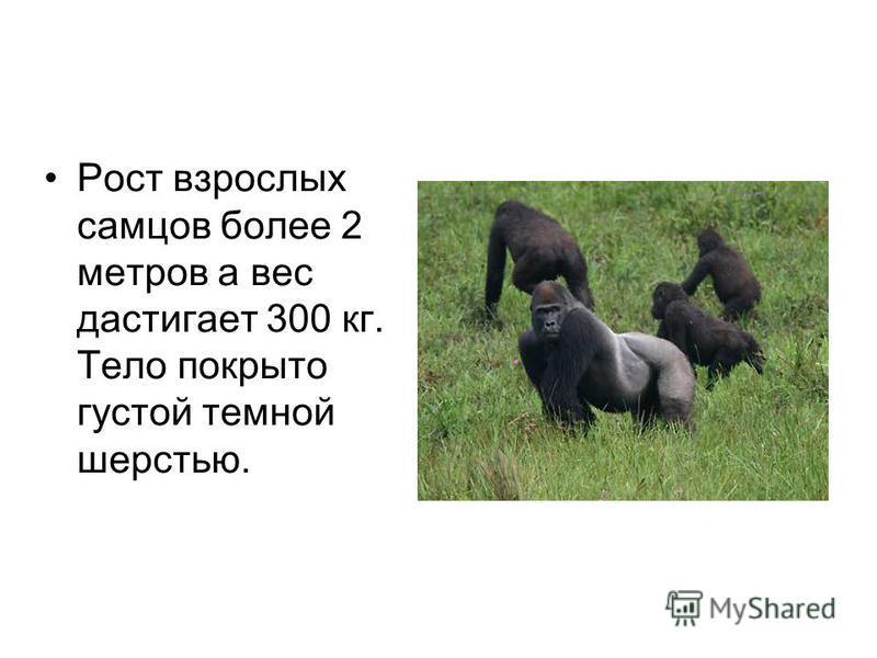 Рост взрослых самцов более 2 метров а вес достигает 300 кг. Тело покрыто густой темной шерстью.