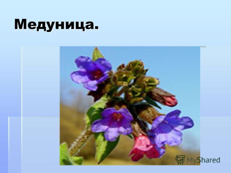 Медуница. Медуница (пульмонария)- небольшое растение сем. бурачниковых. Русское название произошло от вкуса и запаха цветков – сладкого, медового. А латинское название пульмонария получила из-за применения листьев растения при лечении легочных заболе