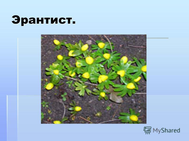 Эрантист. Эрантис – многолетнее травянистое растение сем.лютиковых. Название происходит от греческого – «весенний цветок». Расцветает одним из первых весенних цветов, как только появятся первые проталины. Эрантис называют предвестником весны. Следом