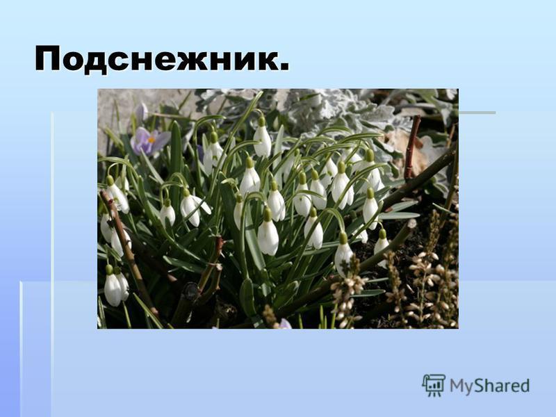 Подснежник. Подснежник – растение сем.амариллисовых. Согласно легенде, подснежник получил белый наряд от богини Флоры, чтобы нарядиться для карнавала. Снег, который тоже хотел пойти на праздник, никакого наряда не получил. И никто из цветов, кроме по