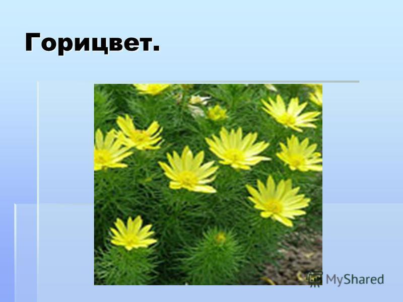 Горицвет. Горицвет (адонис) – многолетнее травянистое растение сем. лютиковых. Золотом горят на солнышке крупные цветки горицвета. Латинское название адонис получил в честь Адона финикийского и ассирийского бога солнца, который, ежегодно умирал и каж