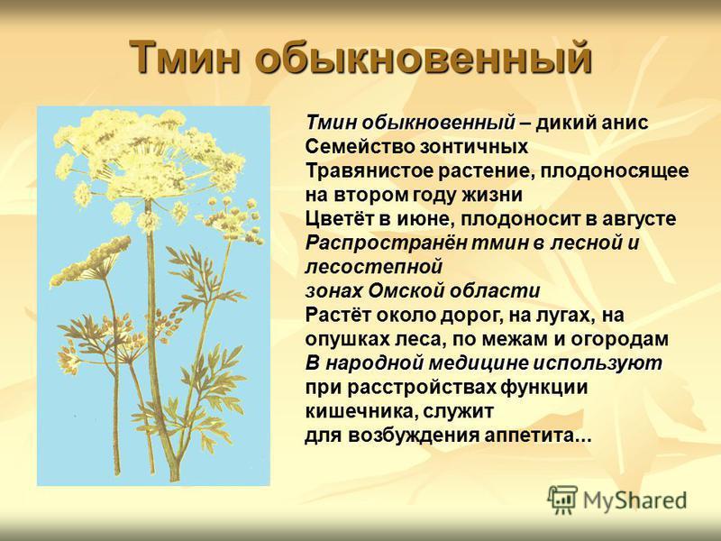 Тмин обыкновенный Тмин обыкновенный Тмин обыкновенный – дикий анис Семейство зонтичных Травянистое растение, плодоносящее на втором году жизни Цветёт в июне, плодоносит в августе Распространён тмин в лесной и лесостепной зонах Омской области Растёт о