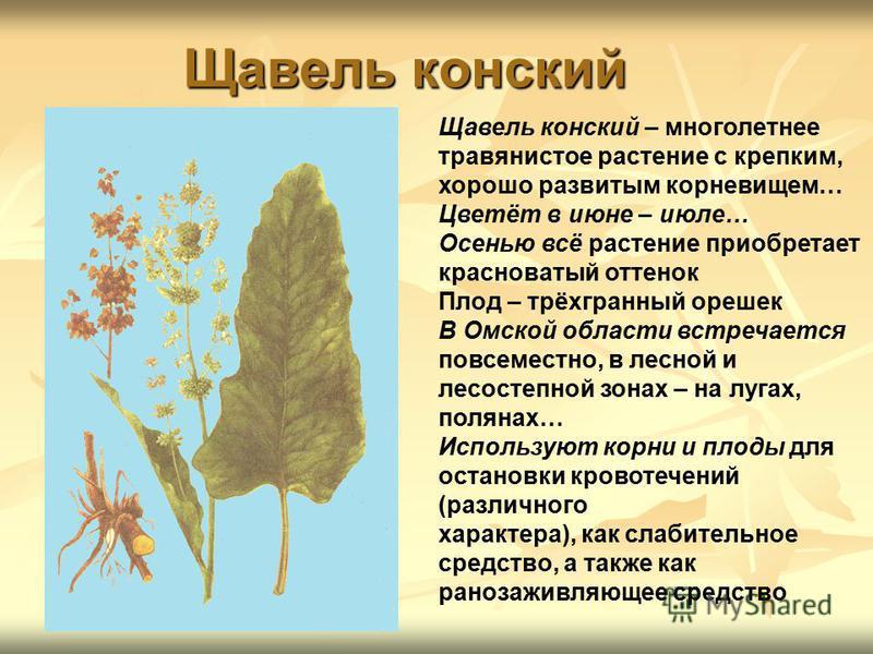 Щавель конский Щавель конский – многолетнее травянистое растение с крепким, хорошо развитым корневищем… Цветёт в июне – июле… Осенью всё растение приобретает красноватый оттенок Плод – трёхгранный орешек В Омской области встречается повсеместно, в ле