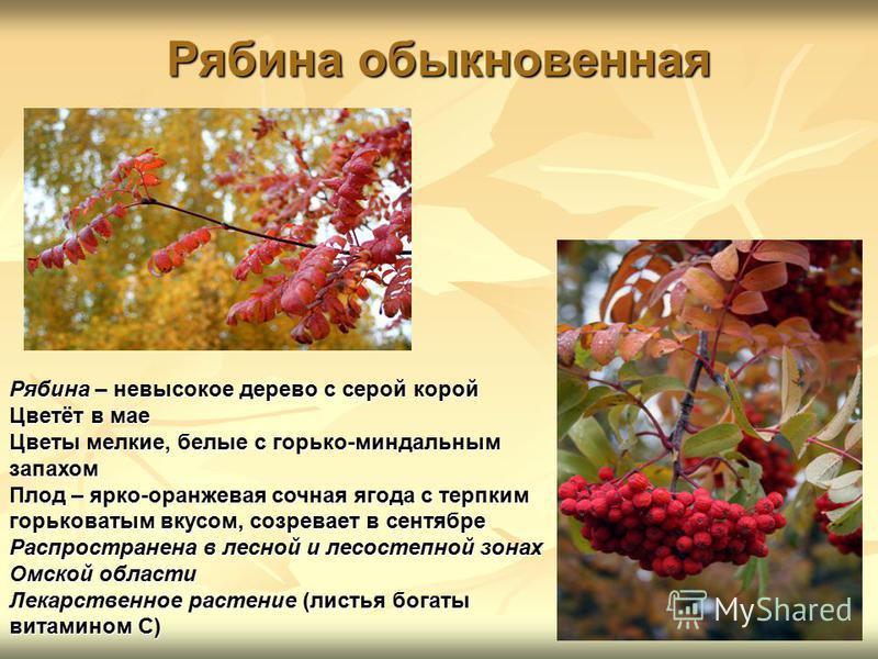 Рябина обыкновенная Рябина – невысокое дерево с серой корой Цветёт в мае Цветы мелкие, белые с горько-миндальным запахом Плод – ярко-оранжевая сочная ягода с терпким горьковатым вкусом, созревает в сентябре Распространена в лесной и лесостепной зонах