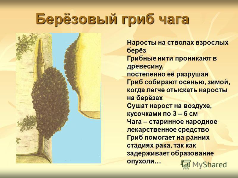 Берёзовый гриб чага Наросты на стволах взрослых берёз Грибные нити проникают в древесину, постепенно её разрушая Гриб собирают осенью, зимой, когда легче отыскать наросты на берёзах Сушат нарост на воздухе, кусочками по 3 – 6 см Чага – старинное наро