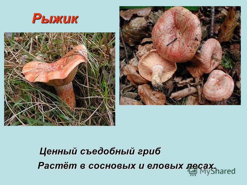 Рыжик Рыжик Растёт в сосновых и еловых лесах. Ценный съедобный гриб