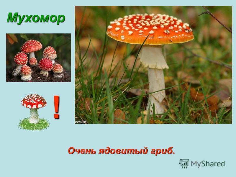 Мухомор Очень ядовитый гриб. !