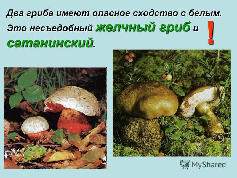 Два гриба имеют опасное сходство с белым. Это несъедобный желчный гриб и сатанинский. !